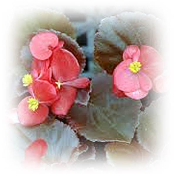 COCTAIL SERIES BEGONIA