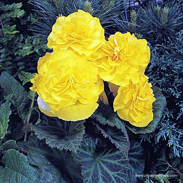 Nonstop Yellow Tuberous Begonia